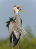 Great Blue Heron Vocalizing, Ardea Herodias, Venice Rookery, Florida, USA Photographic Print by Arthur Morris