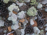 Reindeer Lichens, Cladonia, with Pine Cones on the Forest Floor, Florida, USA Photographic Print by Gary Meszaros