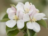 Fleurs de pommier Papier Photo