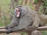 Olive Baboon Yawning (Papio Anubis) Fotografie-Druck von Gustav W. Verderber