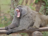 Olive Baboon Yawning (Papio Anubis) Photographic Print by Gustav W. Verderber