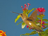 Broad-Tailed Hummingbird Photographic Print by Jack Michanowski