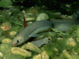European Eel (Anguilla Anguilla), Bavaria, Germany Photographic Print by Reinhard Dirscherl