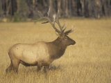 Bull Elk, Cervus Elaphus, Yellowstone National Park, Wyoming, USA Photographic Print by Adam Jones