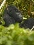 Mountain Gorilla, Gorilla Gorilla Beringei, Eating in Volcanoes National Park, Rwanda, Africa Photographic Print by Joe McDonald