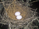Common Ground Dove Nest with Two Eggs, Columbina Passerina, Texas, USA Photographic Print by Charles Melton