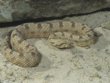False Horned Viper, Pseudocerastes Persica, Middle East Photographic Print by Joe McDonald
