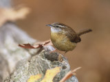 Carolina Wren (Thryothorus Ludovicianus), Eastern North America Photographic Print by Steve Maslowski