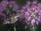 Calliope Hummingbird Nectaring at Flowers, Stellula Calliope, New Mexico, USA Photographic Print by Charles Melton