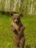 Black Bear, Ursus Americanus, Female Cub Standing Upright, North America Photographic Print by Jack Michanowski