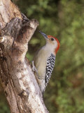 Red-Bellied Woodpecker, Melanerpes Carolinus Photographic Print by Gary Carter