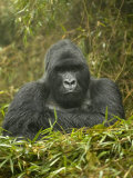 Mountain Gorilla, Gorilla Gorilla Beringei, Volcanoes National Park, Rwanda, Africa Photographie par Joe McDonald