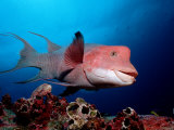 Harlequin Wrasse (Bodianus Clancheri) Galapagos Islands, Pacific Ocean Photographic Print by Reinhard Dirscherl