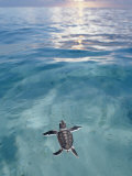 Swimming Baby Green Sea Turtle (Chelonia Mydas), Pacific Ocean, Borneo Lmina fotogrfica por Reinhard Dirscherl