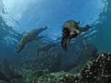South African Fur Seals Swimming (Arctocephalus Pusillus Pusillus), South Africa Photographic Print by Reinhard Dirscherl