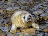 Gray Seal Pup (Halichoerus Grypus), Orkney Islands, Scotland, Uk Photographic Print by David Fleetham