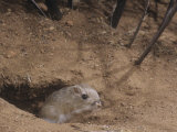 Bannertail Kangaroo Rat at its Burrow Opening, Dipodomys Spectabilis, Arizona, USA Photographic Print by Joe McDonald