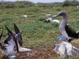 Blue Footed Booby Courtship Display, Sula Nebouxi, Hood Island, Galapagos Photographie par Gerald & Buff Corsi