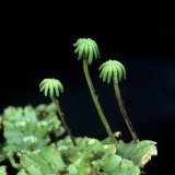 Liverwort Female Archegoniophores, Marchantia Polymorpha Photographic Print by David Sieren