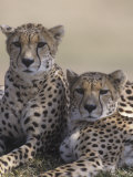 Two Male Cheetahs (Acinonyx Jubatus), Kenya, Africa Photographic Print by Tom Walker