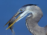 Close-Up View of a Great Blue Heron Head with a Fish in its Bill, Usa., Ardea Herodias Photographic Print by Arthur Morris