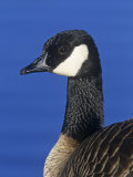 Lesser Canada Goose Head, Branta Canadensis Parvipes, Alaska, USA Photographic Print by Arthur Morris