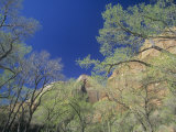 Cottonwood Trees, Populus, in the Spring, Zion National Park, Utah, USA Photographic Print by Adam Jones