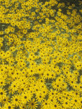 Black-Eyed Susans, Rudbeckia Fulgida Deamii, Asteraceae, North America Photographic Print by David Cavagnaro