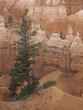 Douglas Fir, Pseudotsuga Menziesii, Bryce Canyon National Park, Utah, USA Photographic Print by Doug Sokell