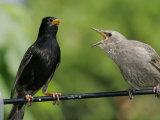 European Starling (Sturnus Vulgaris) Photographie par Robert Servrancky
