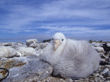 Giant Petrel Chick, Macronectes Giganteus, Falkland Islands Photographic Print by Joe McDonald
