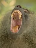 Olive Baboon Yawning, Papio Anubis, Tanzania, Africa Photographic Print by Arthur Morris