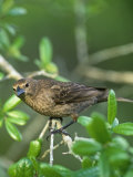 Female Brown-Headed Cowbird (Molothrus Ater), North America Photographic Print by Steve Maslowski