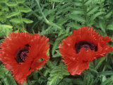 Oriental Poppy (Papaver Orientale), Turkenlouis Variety Photographic Print by Wally Eberhart