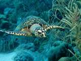 Hawksbill Sea Turtle, Eretmochelys Imbricata, Martinique, French West Indies, Caribbean Sea Fotografie-Druck von Reinhard Dirscherl