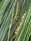 Surf Grass with Seeds, Phyllospadix Scouleri, Pacific Coast of North America Photographic Print by Doug Sokell
