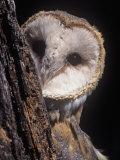 Barn Owl Face Peering from Behind a Tree Trunk, Tyto Alba, a Threatened Species, North America Fotoprint van Joe McDonald