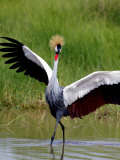 Grey Crowned Crane (Balearica Regulorum), Tanzania Photographic Print by Arthur Morris