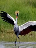 Grey Crowned Crane (Balearica Regulorum), Tanzania Photographic Print by Arthur Morris
