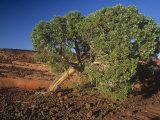 Utah Juniper, Juniperus Osteosperma, Southwestern North America Photographic Print by Doug Sokell