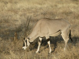 Oryx Grazing, Oryx Gaxella, Sambura, Kenya, Africa Photographic Print by Arthur Morris