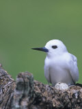 White Tern on its Nest with an Egg, Gygis Alba, Midway Atoll National Wildlife Refuge, USA Photographic Print by John & Barbara Gerlach