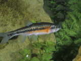 Rosyside Dace (Clinostomus Funduloides), Virginia, USA Photographic Print by Rob & Ann Simpson
