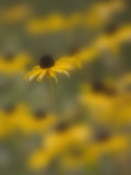A Blackeyed Susan (Rudbeckia Hirta) Photographic Print by Don Grall