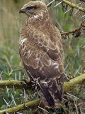 Steppe Buzzard, Buteo Buteo, Nakuru, Kenya, Africa Photographic Print by Joe McDonald