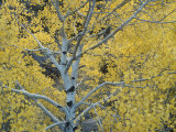 Quaking Aspens in the Fall, Populus Tremuloides, North America Photographic Print by Doug Sokell