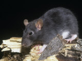 Norway Rat, Rattus Norvegicus Photographic Print by Joe McDonald