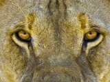 Male African Lion Eyes, Panthera Leo, Etosha Pan National Park, Namibia, Africa Photographic Print by Gerald & Buff Corsi