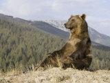 Grizzly Bear, Ursus Arctos, Western North America Photographic Print by Joe McDonald