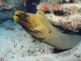 A Caribbean Green Moray Eel Emerges from under a Ledge Fotografie-Druck von Marty Snyderman